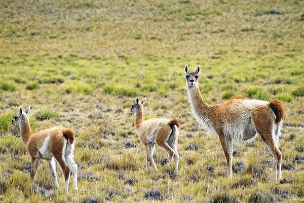 Los guanacos son los grandes protagonistas en Tierra del Fuego y en el Parque Nacional Pali Aike.