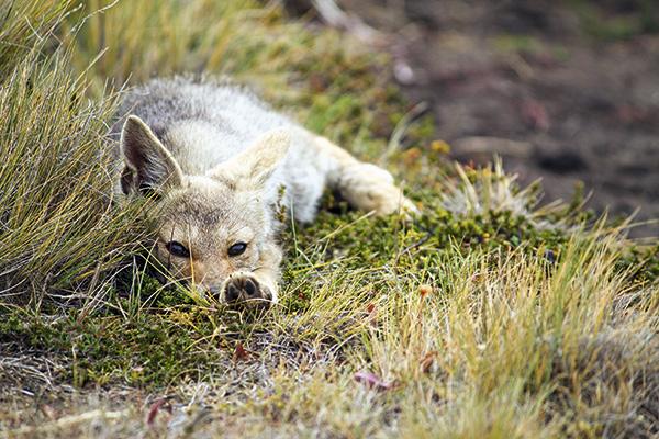 Parte de la fauna que puede observarse: un zorro gris que apenas se interesa ante nuestra presencia.