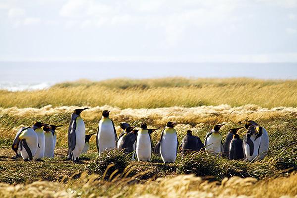 En Bahía Inútil existe una colonia de pingüinos Rey, los segundos más grandes después del Emperador.