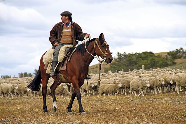 En Tierra del Fuego es común encontrarse con gauchos moviendo grandes rebaños de ovejas.